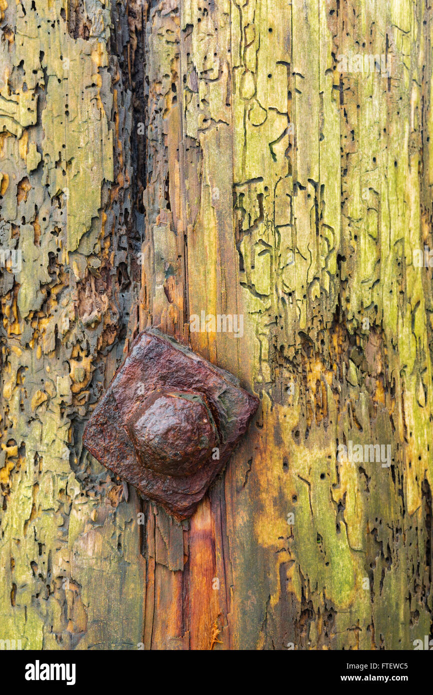 Woodworm damage creates some beautiful patterns on some rotten wood. Stock Photo