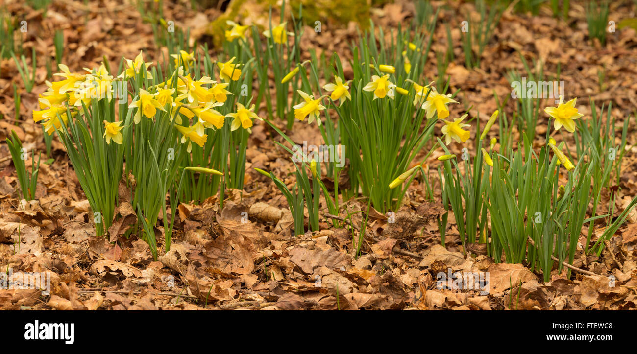 Wild Daffodils, Narcissus pseudonarcissus, growing in at Dymock Woods, Gloucestershire, England Stock Photo
