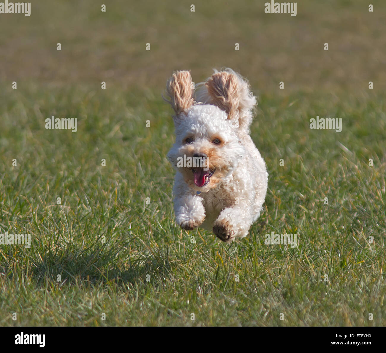 Cavapoo puppy running. front view - Stock Image