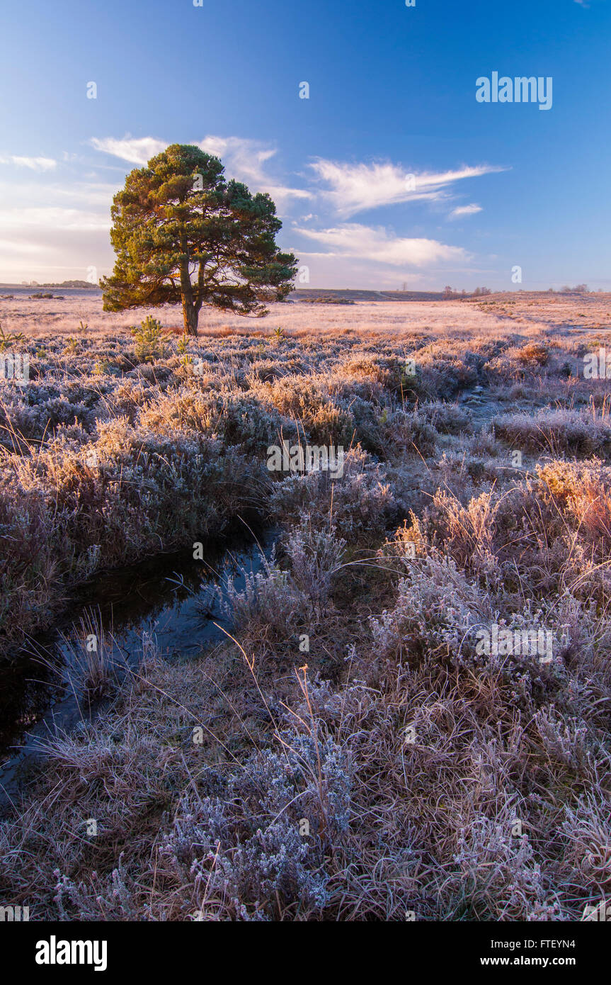 A single pine tree in the New Forest. - Stock Image