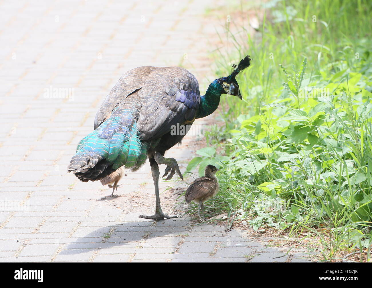 Female Asian Green Peahen or Java peafowl (Pavo muticus) with two  of her baby chicks - Stock Image
