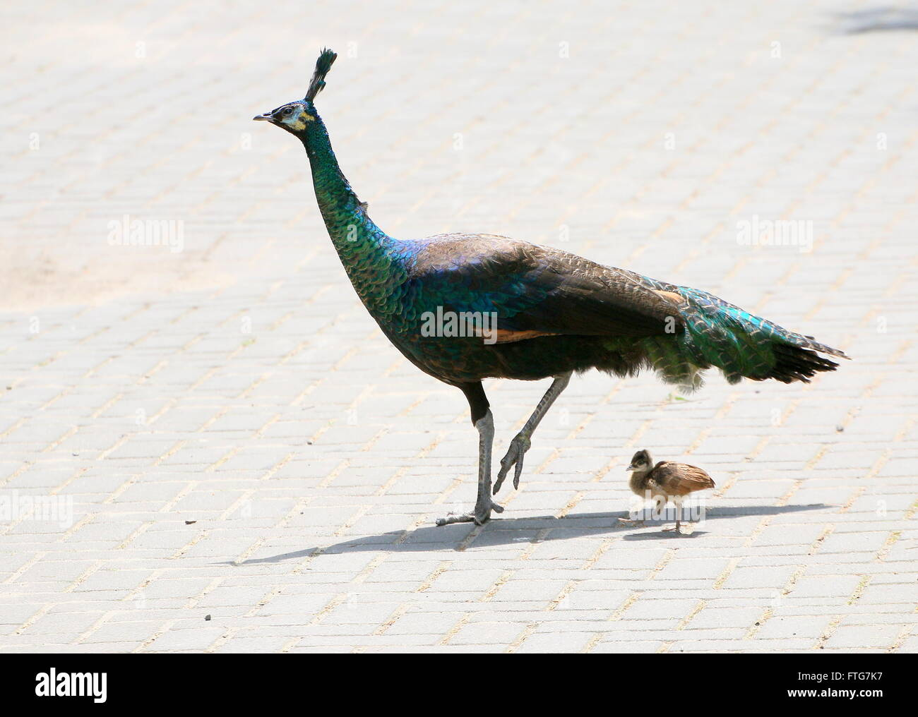 Female Asian Green Peahen or Java peafowl (Pavo muticus) with one of her baby chicks - Stock Image