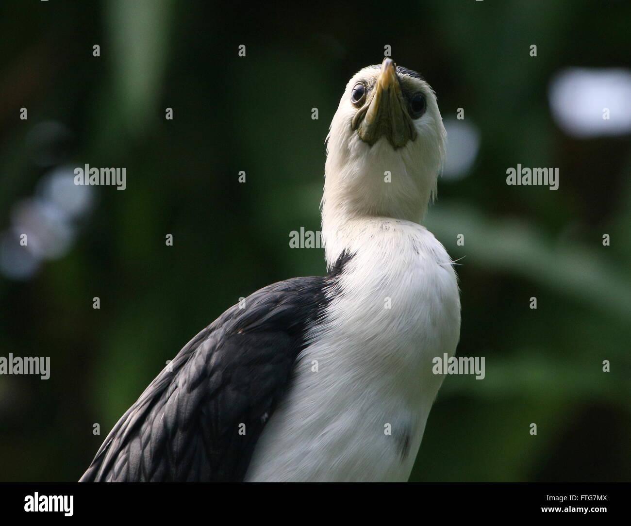 Australasian Little Pied Cormorant or Little shag (Microcarbo melanoleucos, formerly Phalacrocorax melanoleucos) - Stock Image