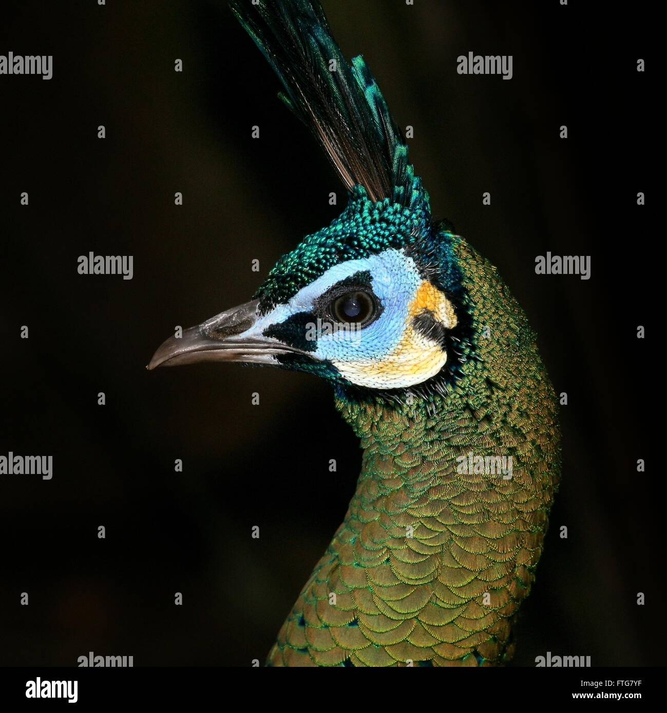 Asian Green Peacock or Java peafowl (Pavo muticus), closeup of the head, seen in profile - Stock Image
