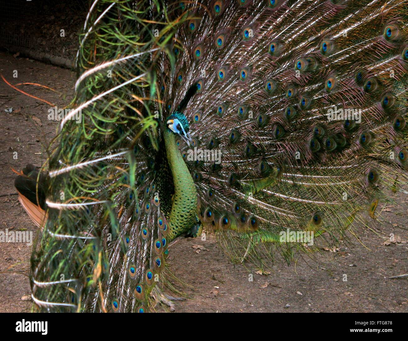 Male Asian Green Peacock or Java peafowl (Pavo muticus) with tail feathers fanning out, courtship display - Stock Image
