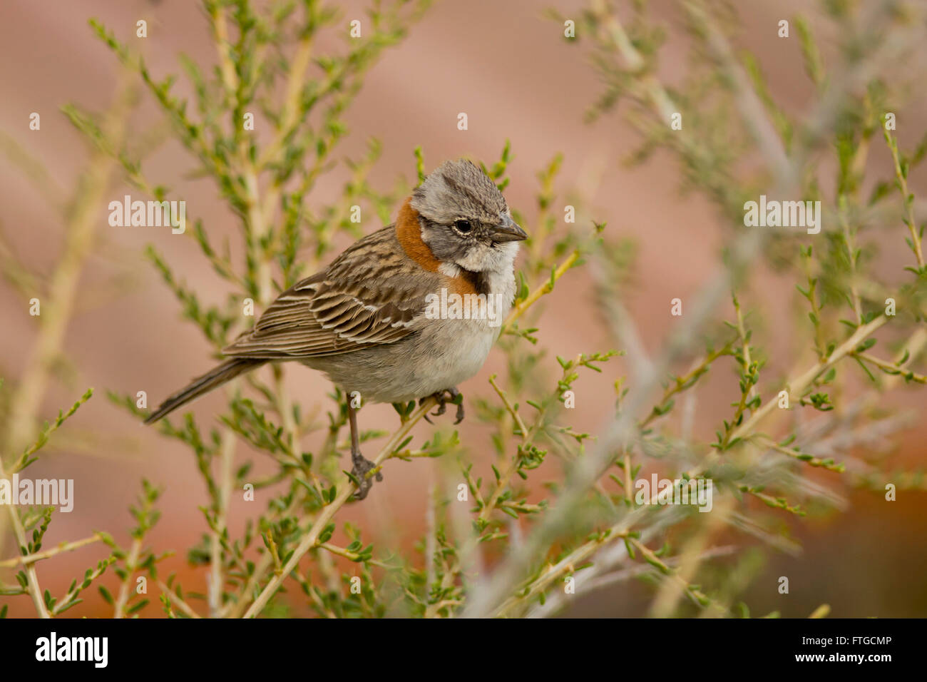 Rufous-collared sparrow, typical of South America, also called chingolo Stock Photo