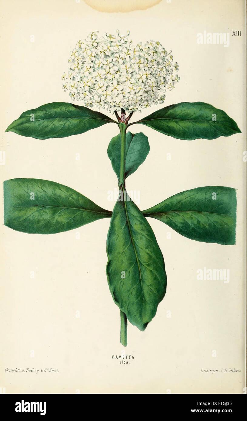 Neerland's Plantentuin (Pl. XIII) - Stock Image