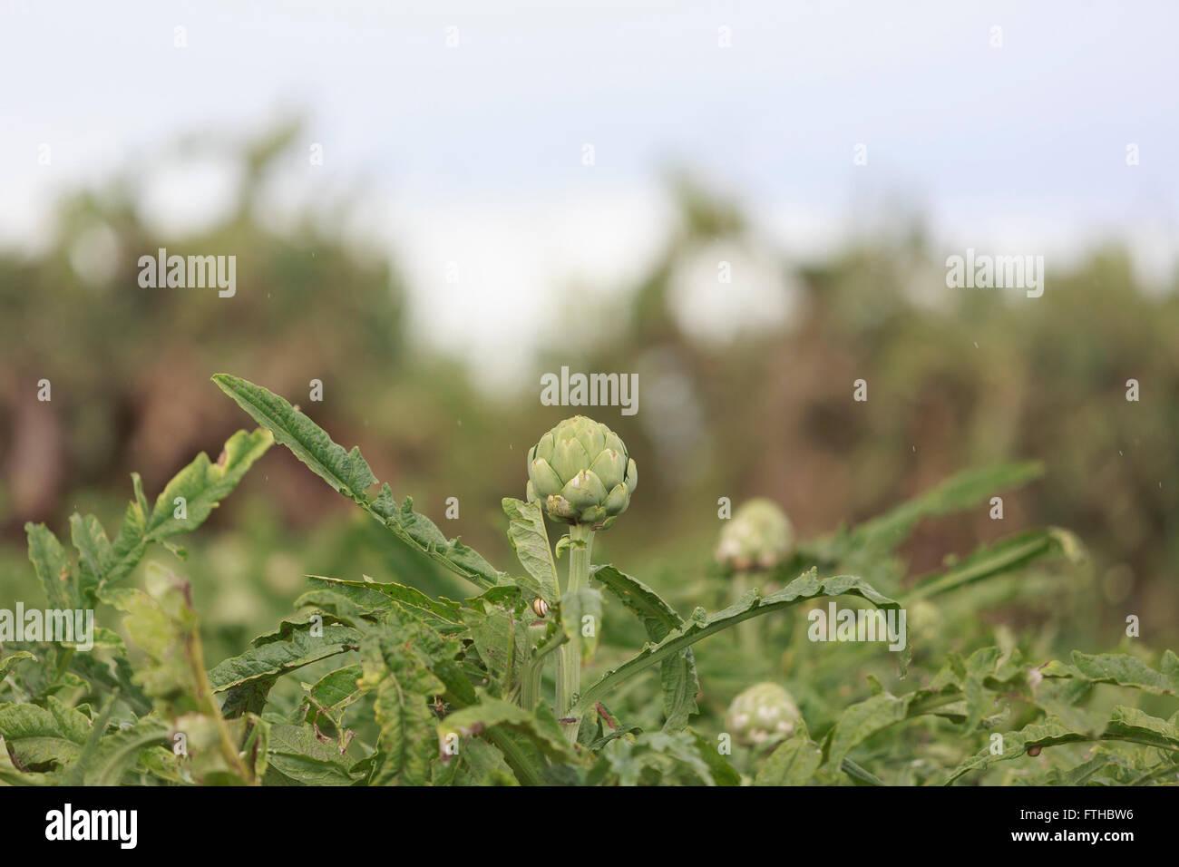 Artichoke in the field.   Pic by Pako Mera Stock Photo