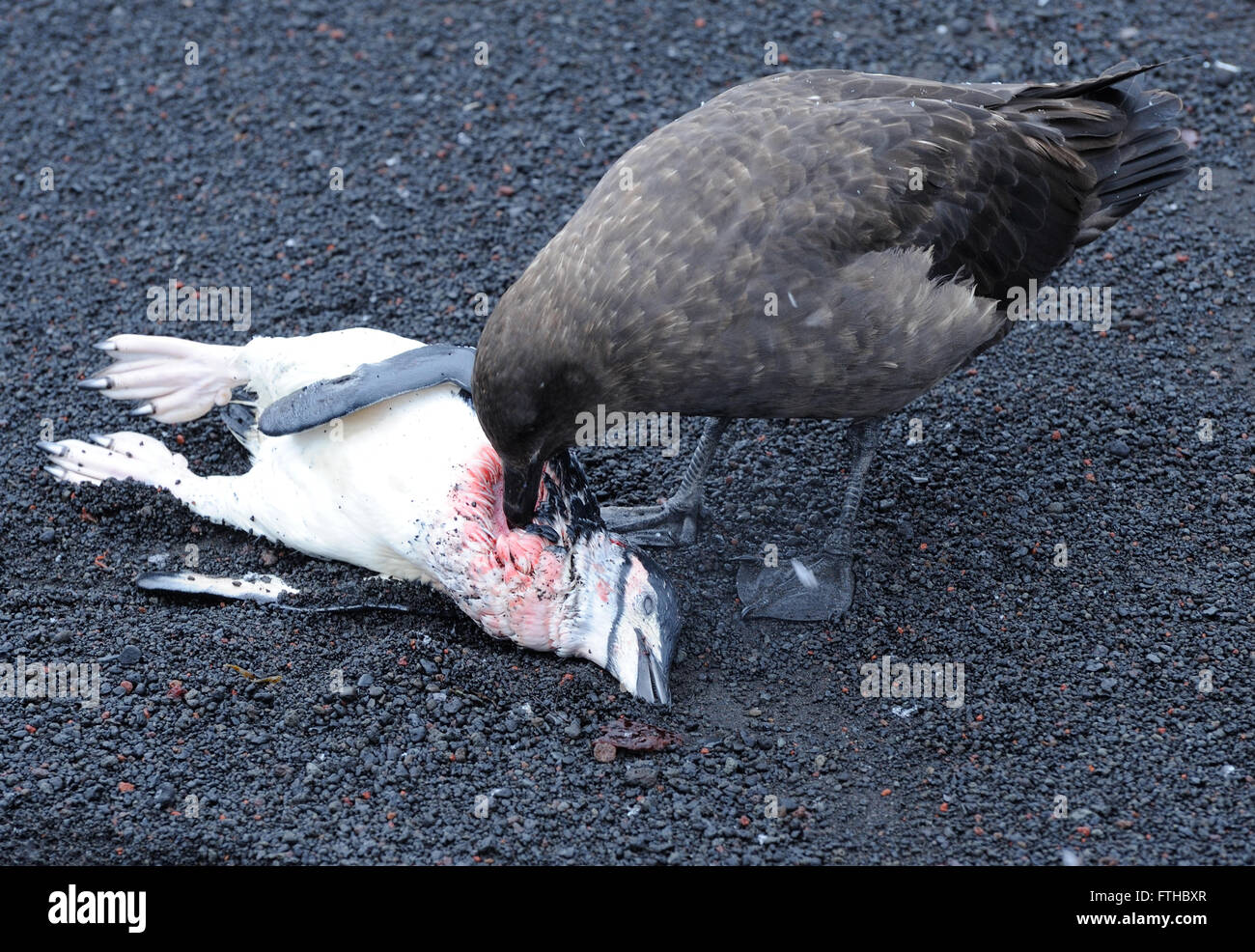 A skua  eats a Chinstrap Penguin (Pygoscelis antarctica) that it and other skuas have just killed as it left the Stock Photo