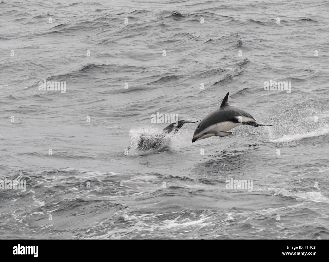Dusky Dolphins (Lagenorhynchus obscurus) leaping from the sea. Drake Passage, South Atlantic Ocean. - Stock Image
