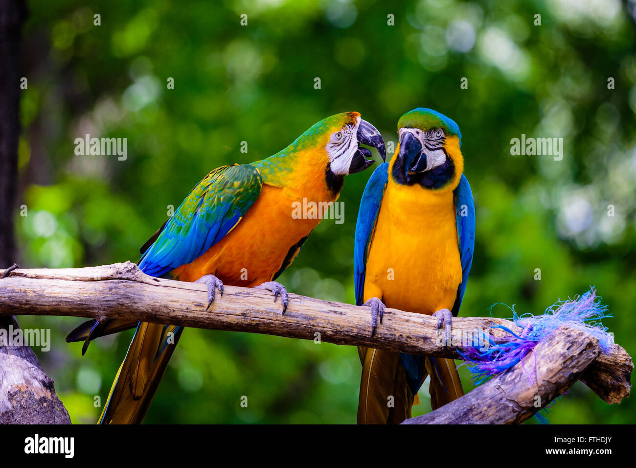 Two parrots on a perch - Stock Image