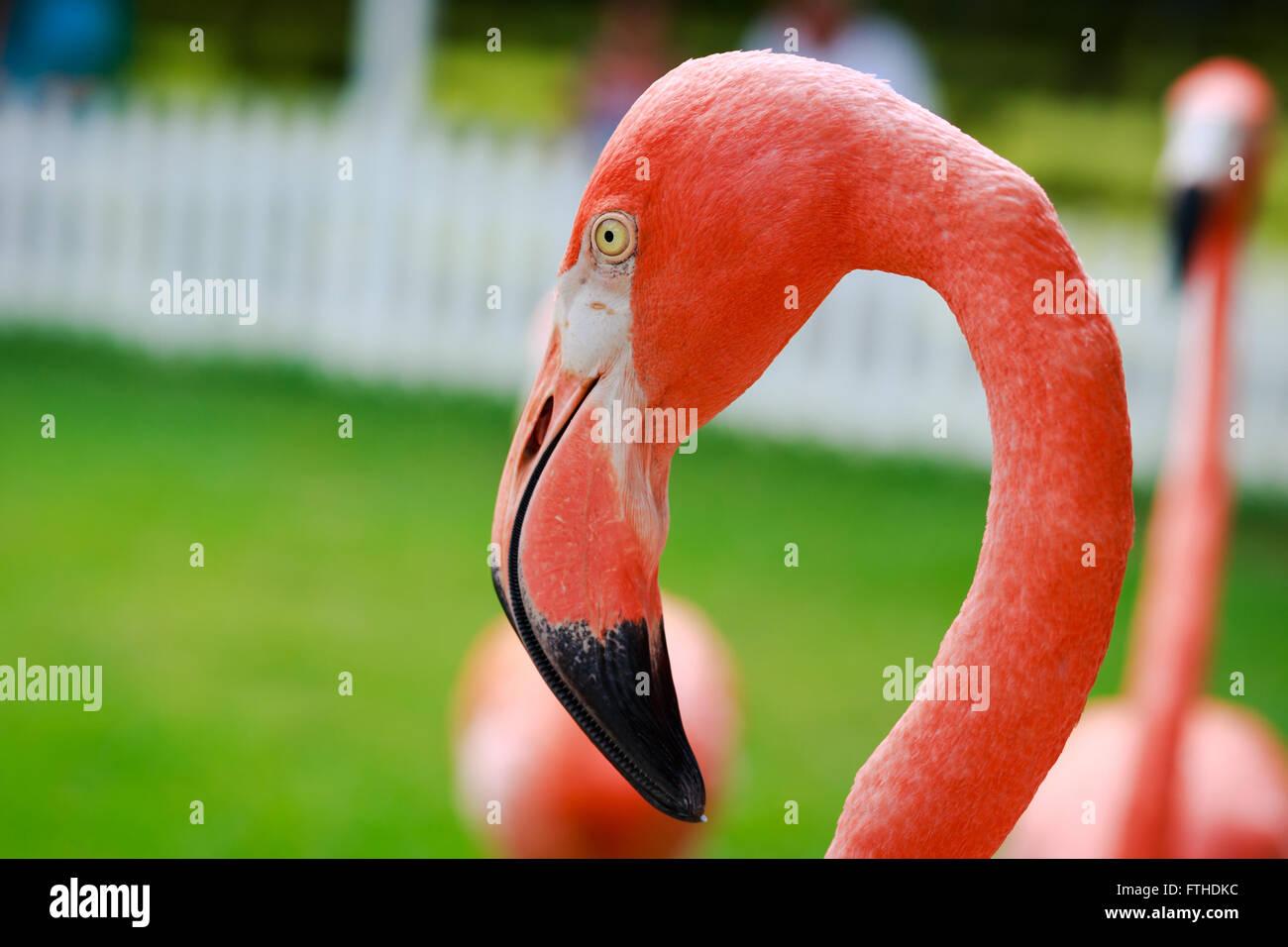 Flamingo closeup - Stock Image