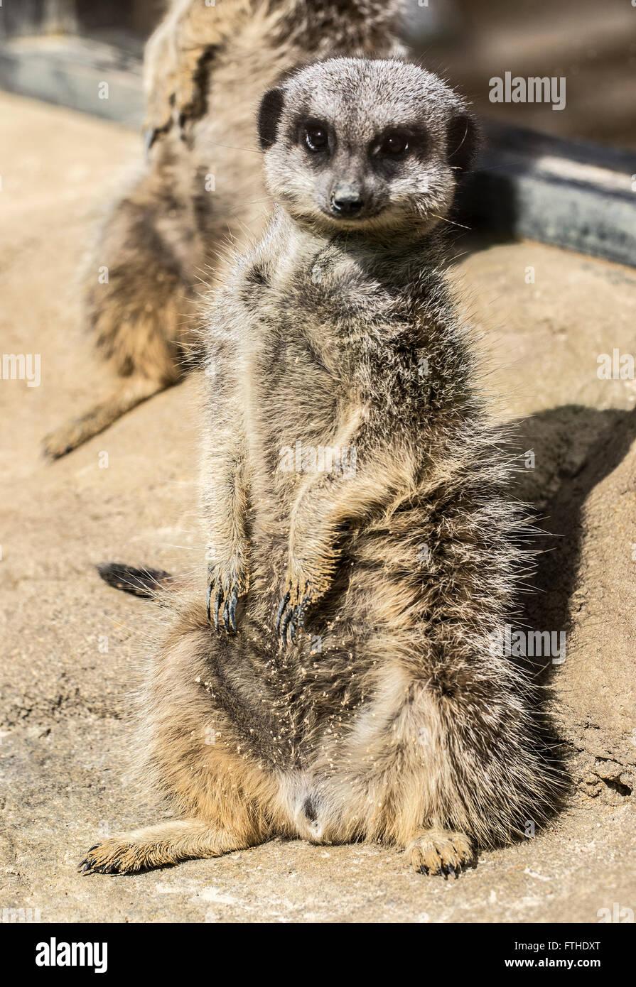 Meerkat sitting in the sun - Stock Image
