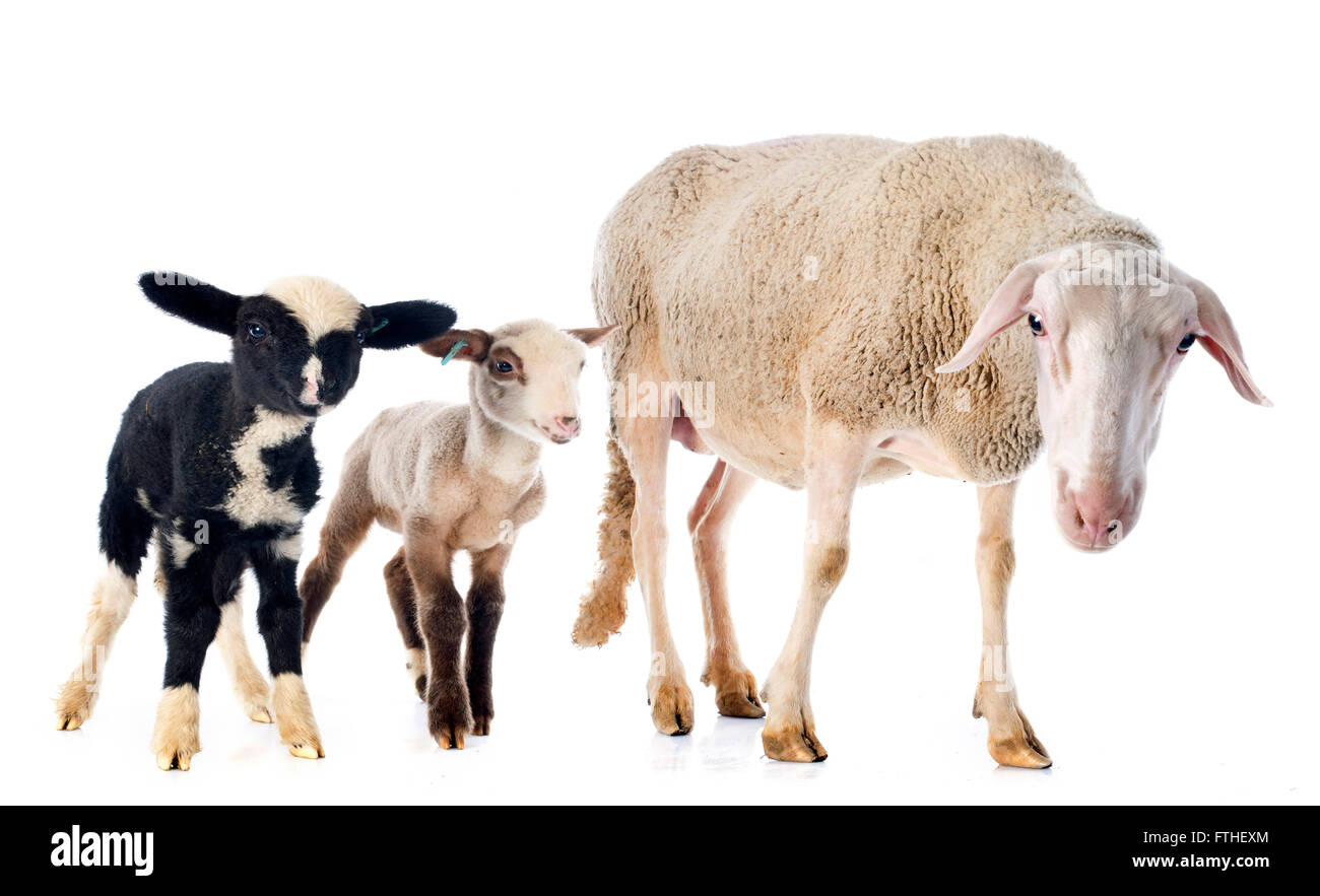 adult ewe and lambs in front of white background - Stock Image