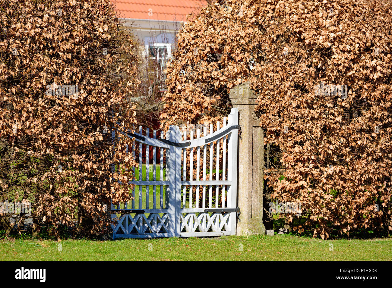 Closed white garden gate with beech hedges on either sides. Leaves are brown. Stock Photo