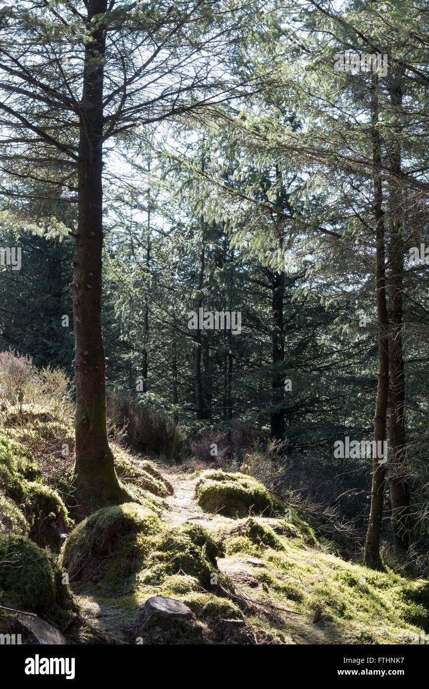woodland near Devil's Bridge - Stock Image