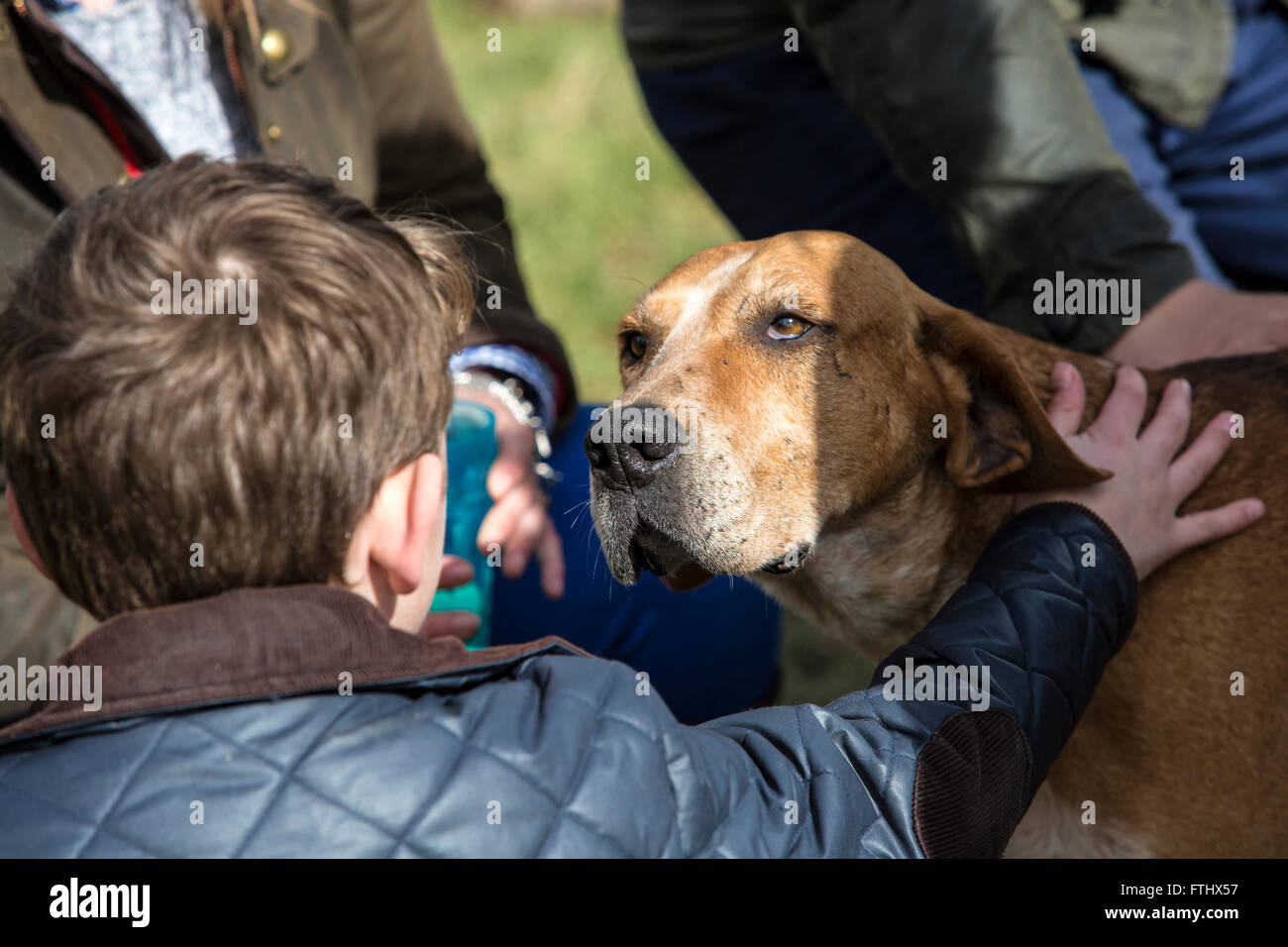 A young boy stroking a Fox Hound. Children are encouraged to play with these Hounds to show the gentle nature of - Stock Image