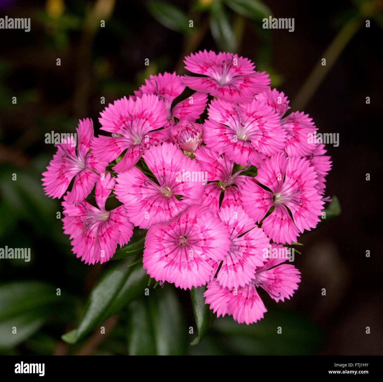 Large cluster of stunning vivid pink perfumed flowers of dianthus large cluster of stunning vivid pink perfumed flowers of dianthus barbatus on dark background garden perennial mightylinksfo
