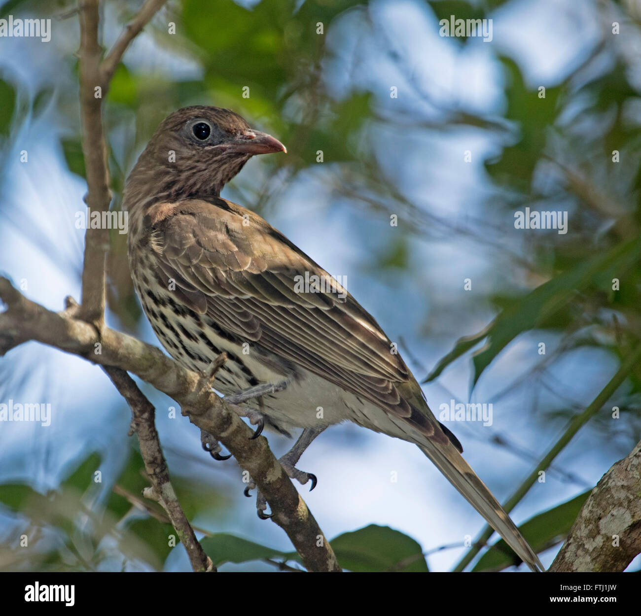 Female green figbird Sphecotheres viridis on tree branch with green foliage & against blue sky in Australian garden Stock Photo