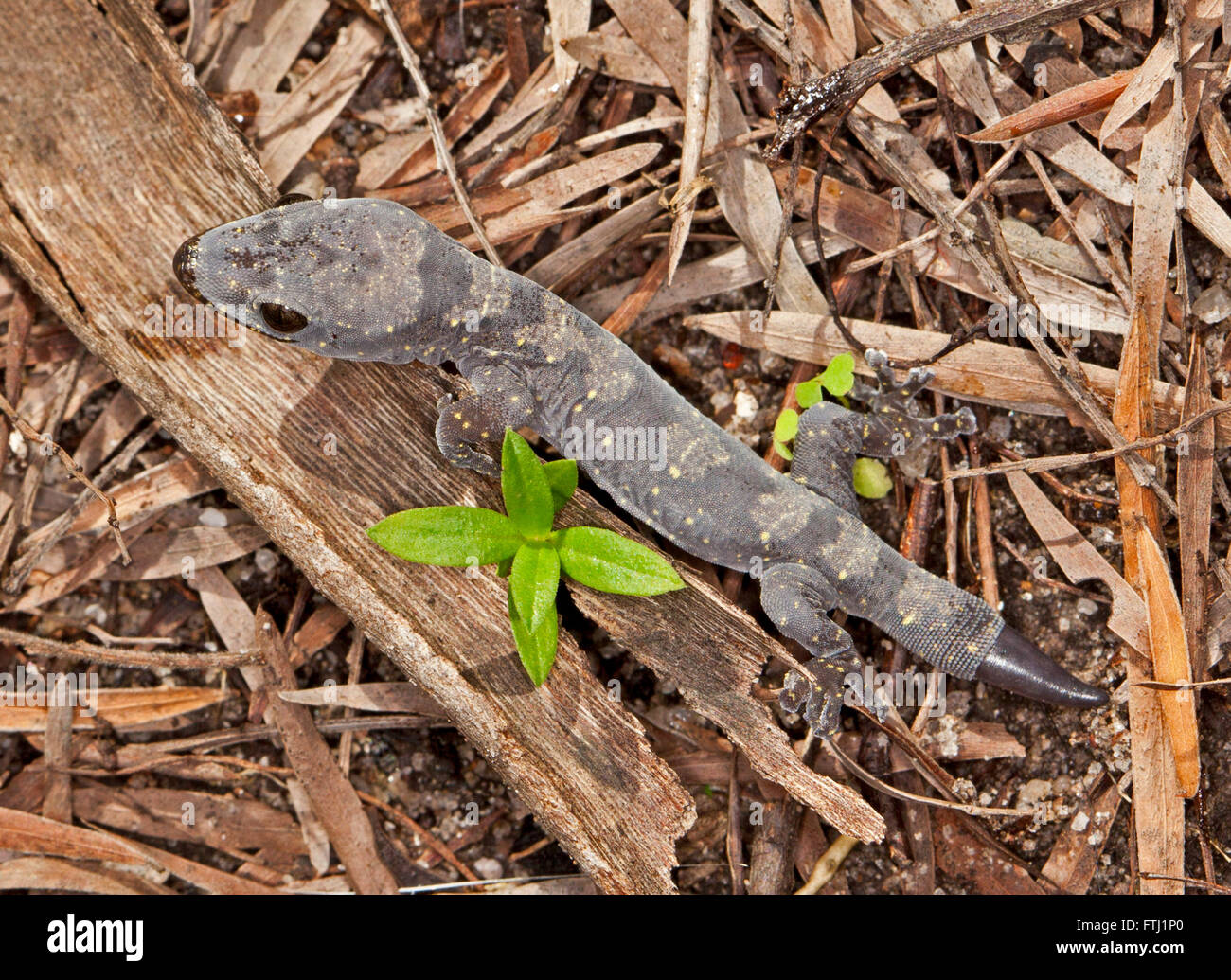 Beautiful young Australian gecko with grey patterned body & new tail regrowing after damage - among fallen leaves - Stock Image