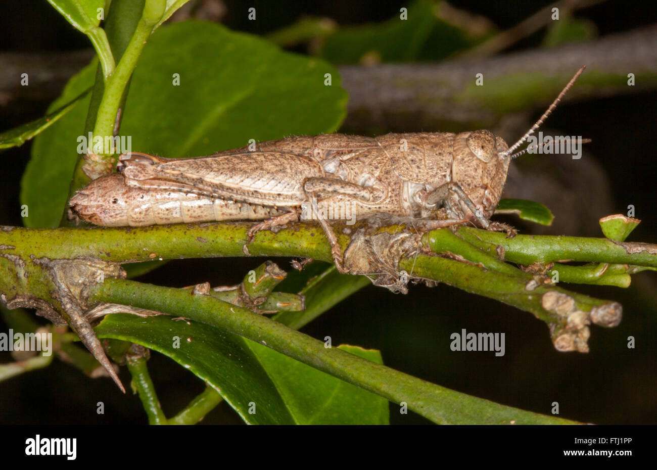 Panoramic image of brown grasshopper camouflaged as twig on stem of plant with emerald green leaves in Australian Stock Photo