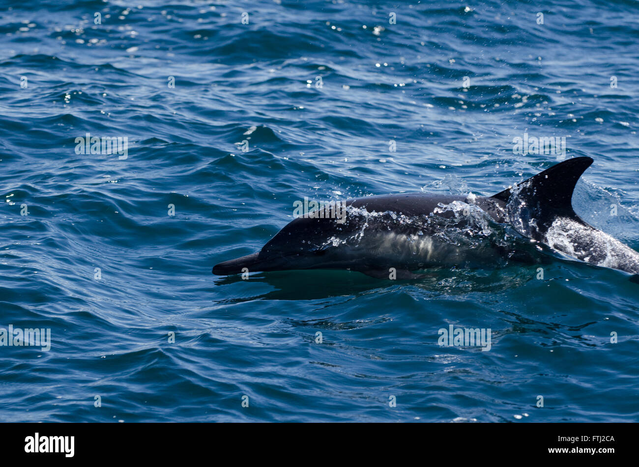 Long-Beaked Common Dolphin Delphinus capensis - Stock Image