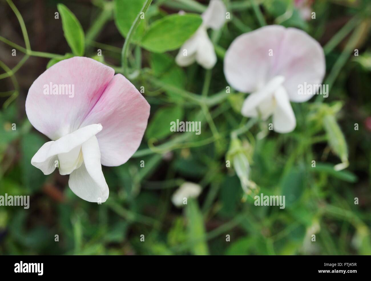 Fragrant pink and white sweet pea flowers climbing on the vine stock fragrant pink and white sweet pea flowers climbing on the vine mightylinksfo