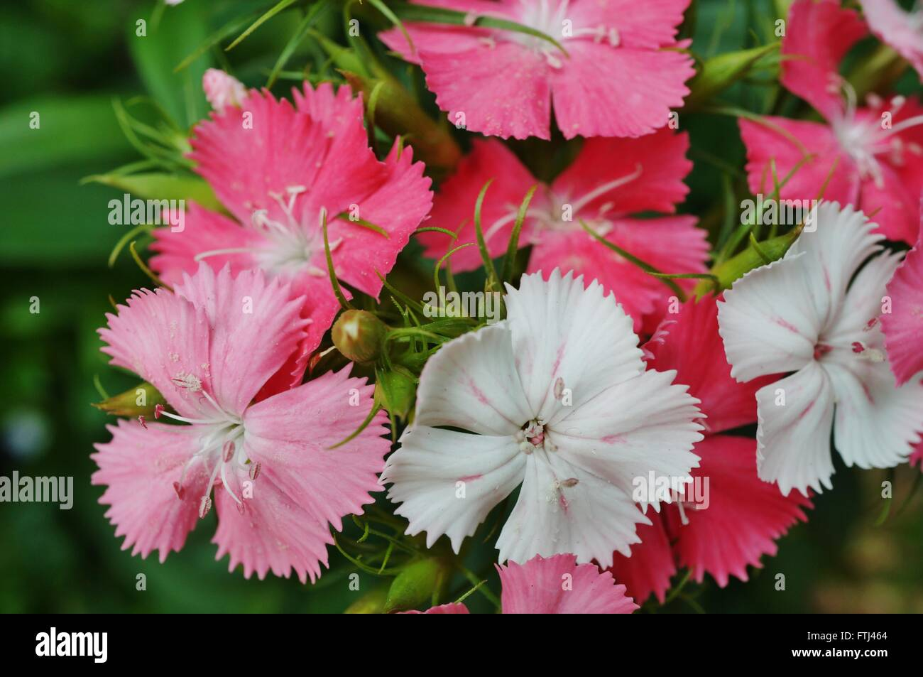 Pink and white sweet william dianthus flowers stock photo 101202028 pink and white sweet william dianthus flowers mightylinksfo