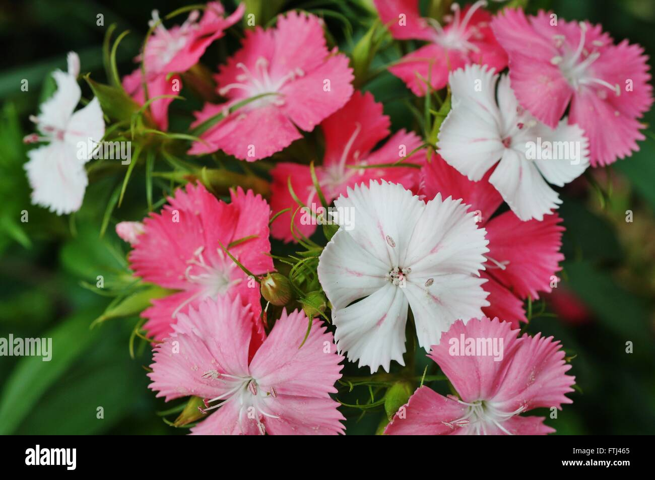Pink and white sweet william dianthus flowers stock photo 101202029 pink and white sweet william dianthus flowers mightylinksfo