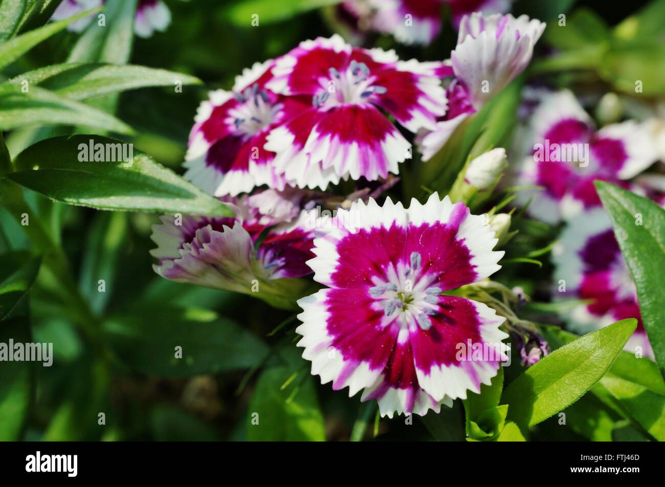 Pink And White Sweet William Dianthus Flowers Stock Photo 101202037