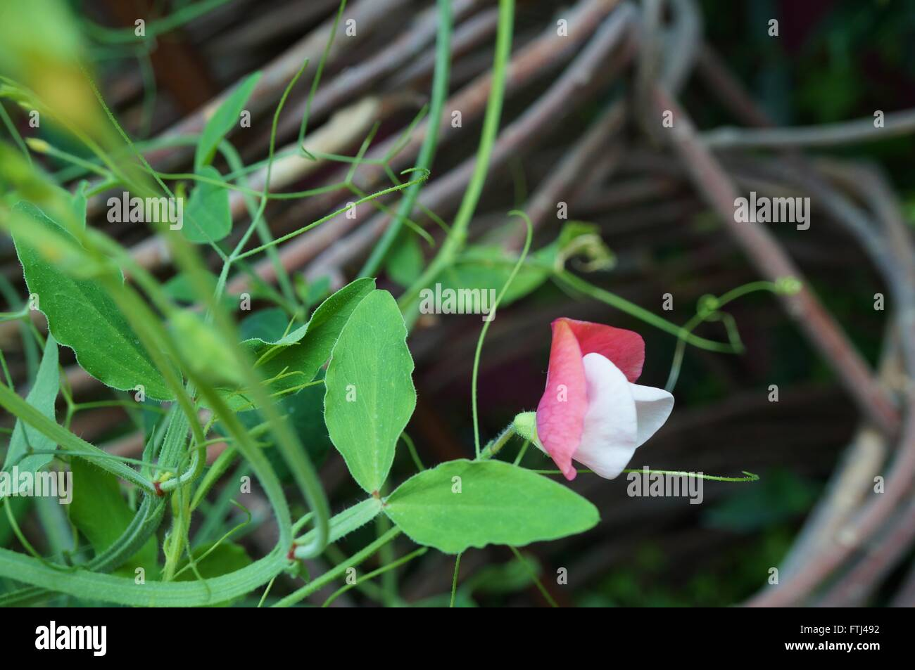 Fragrant Pink And White Sweet Pea Flowers Climbing On The Vine Stock