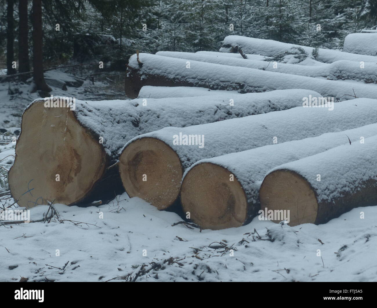 Harvested spruce logs lay on the side of the road to be picked up - Stock Image