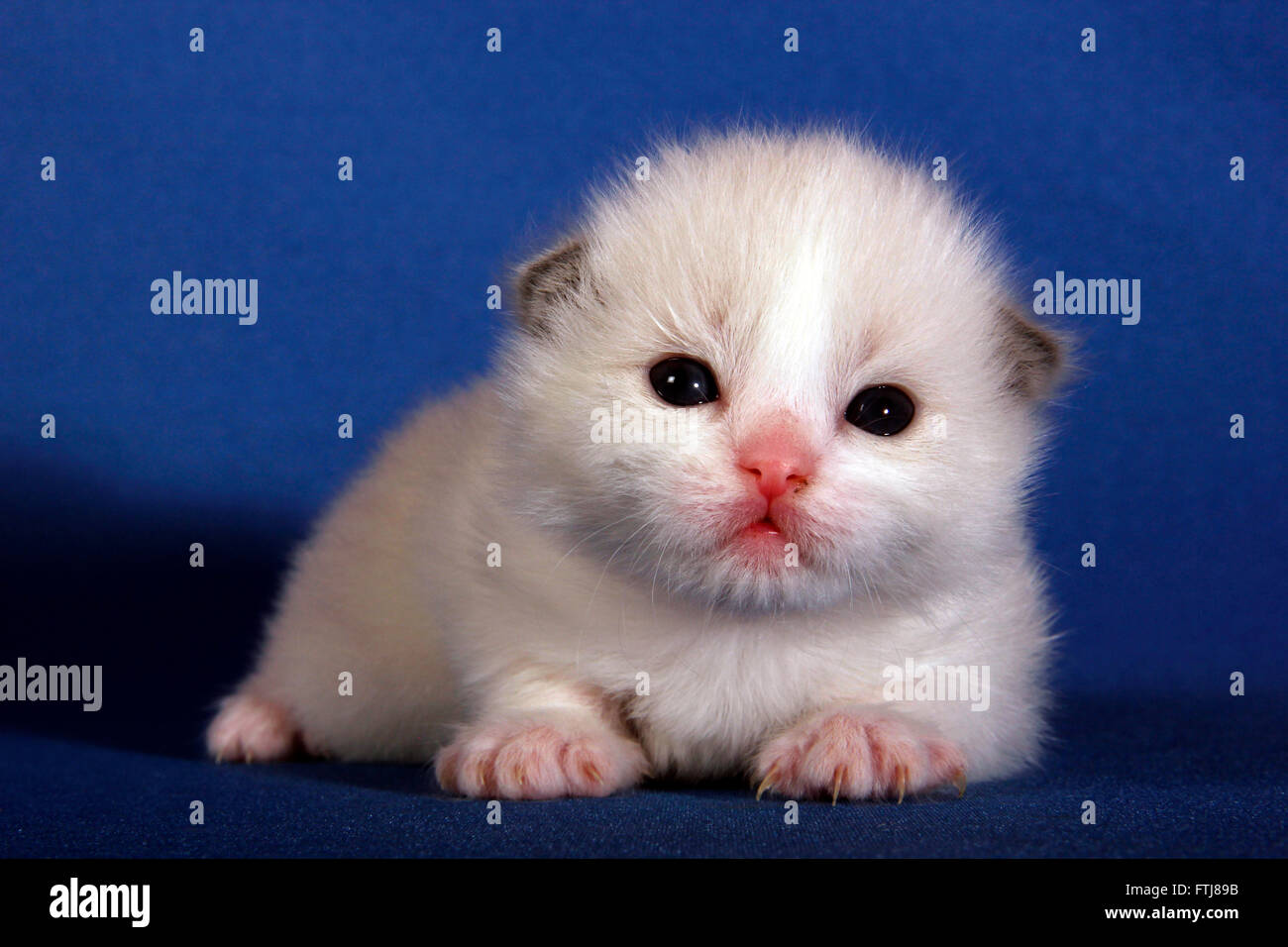 Ragdoll Kitten 2 Weeks Old Lying Spain Stock Photo 101205255