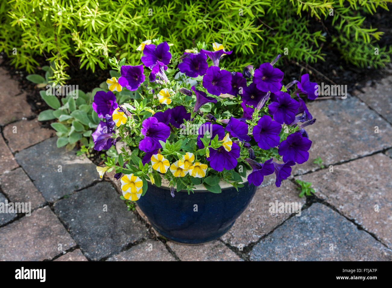 Flower Pot Of Purple And Yellow Petunia Flowers On A Brick Patio In New  Jersey, USA