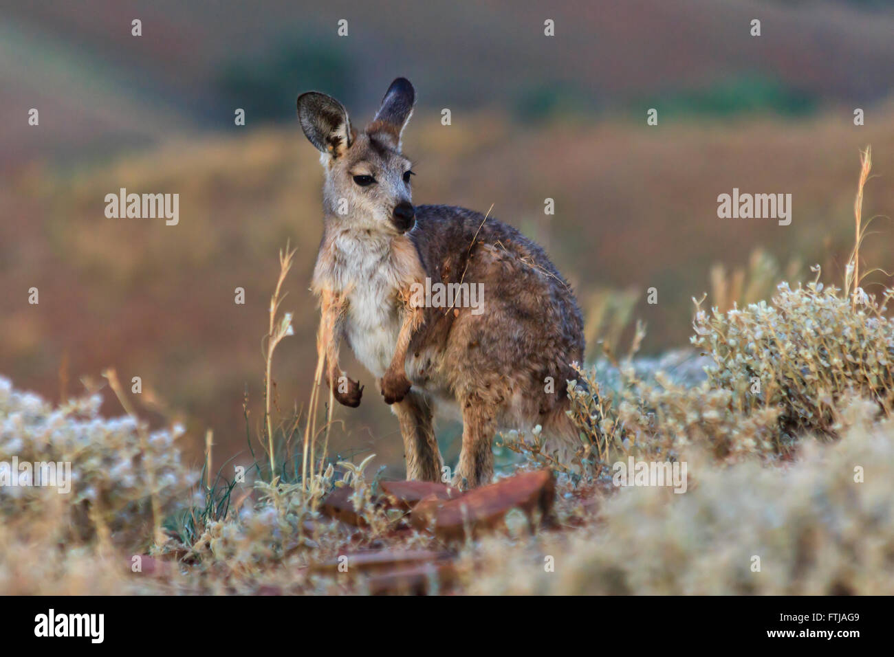 wild life animal kangaroo standing surrounded by natural habitat - grass and bushes in national park. - Stock Image