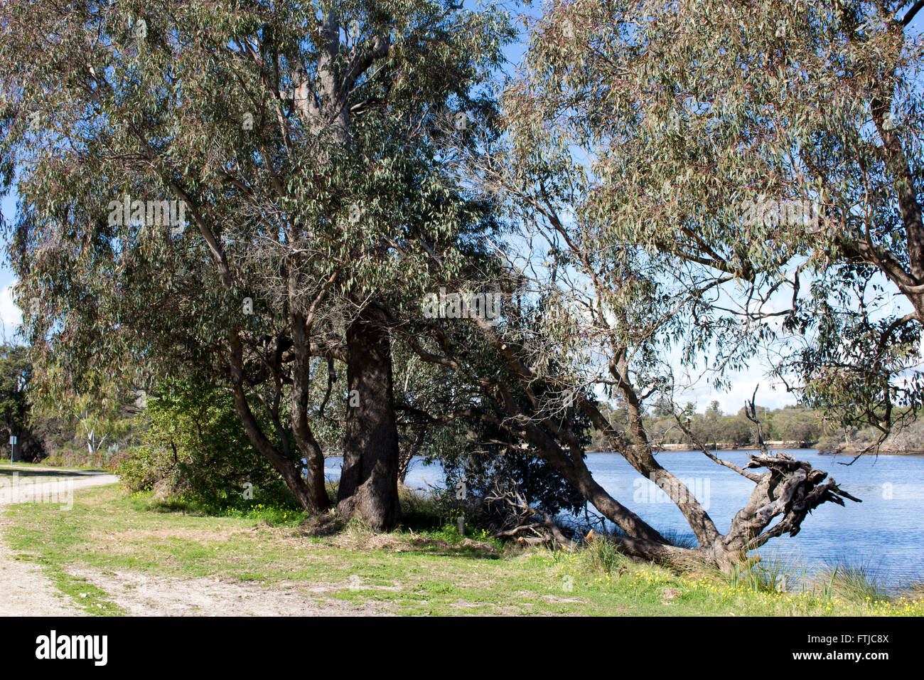 Eucalypt trees  growing along the banks of the Collie River, near Australind , South Western Australia  on a sunny - Stock Image
