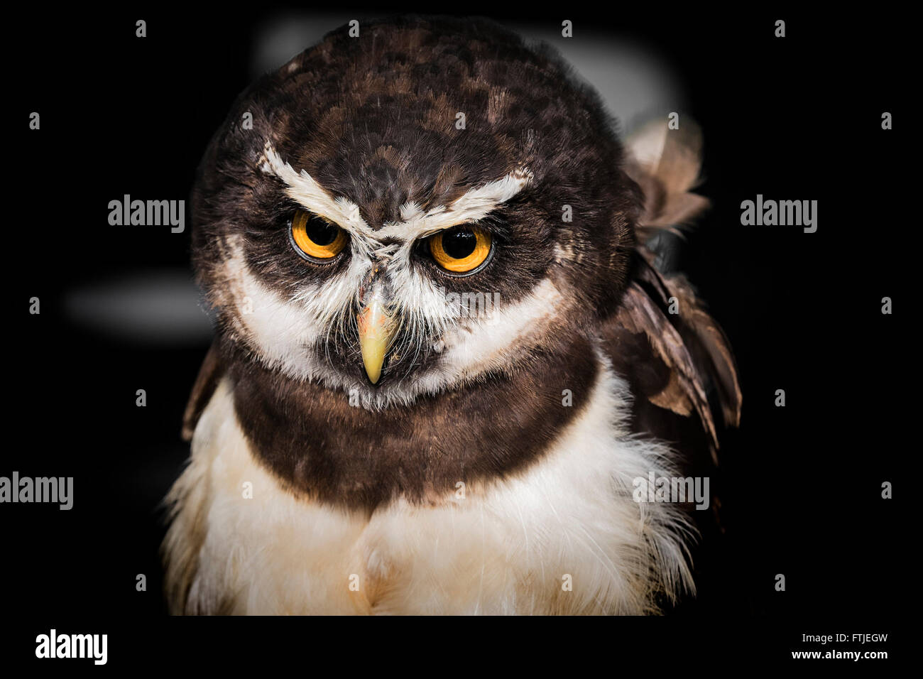 A Spectacled Owl displayed by the Screech Owl Sanctuary in Cornwall. - Stock Image