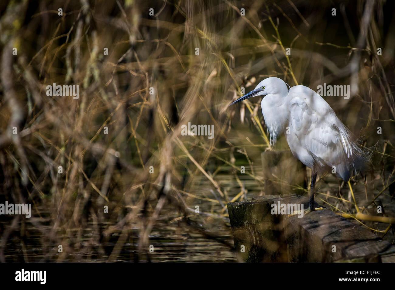 A Little Egret perched on the side of a lake iNewquay, Cornwall. - Stock Image