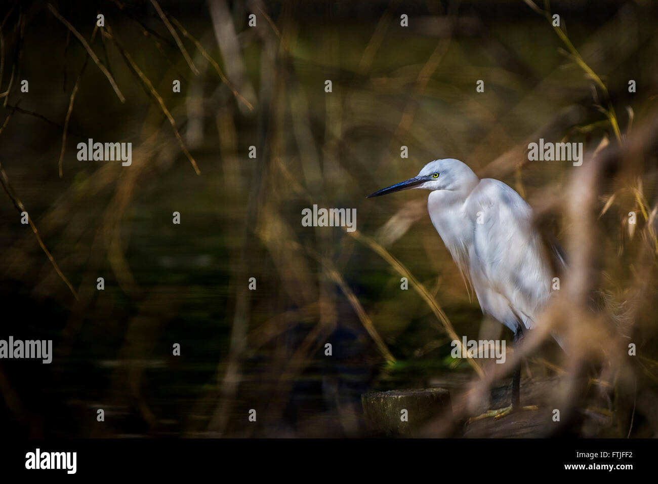 A Little Egret perched on the banks of a lake in Newquay, Cornwall. - Stock Image