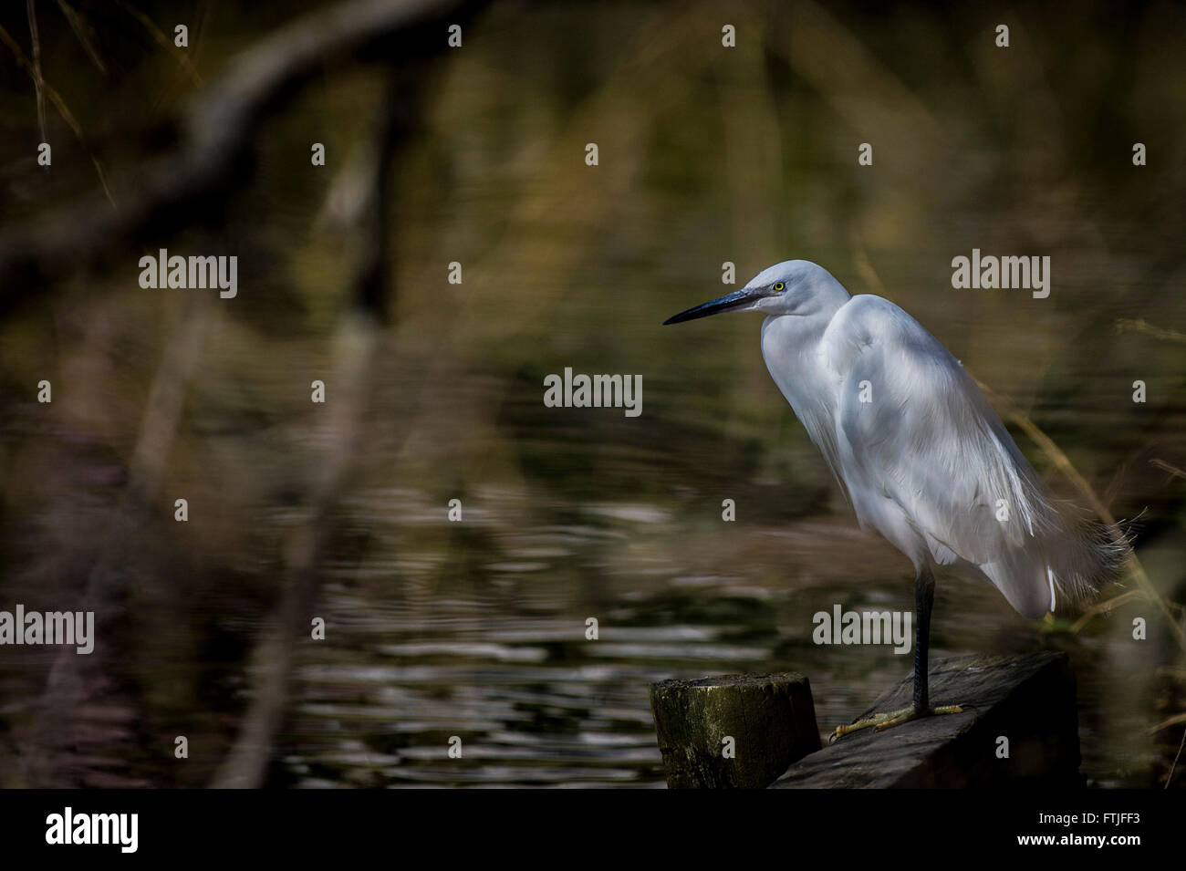 A Little Egret perched on the side of a lake in newquay, Cornwall. - Stock Image