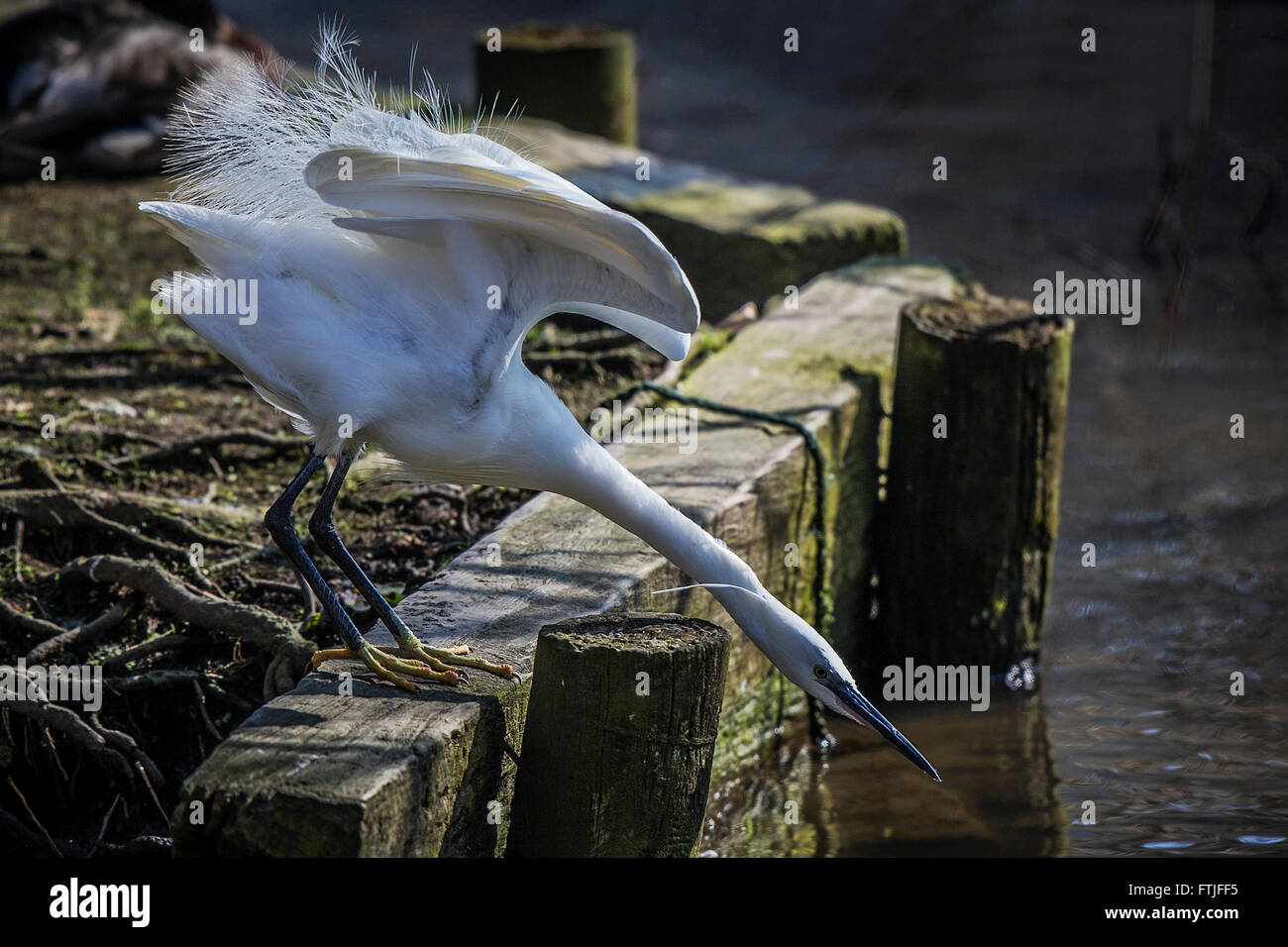 A Little Egret hunting for food on a lake in Newquay. - Stock Image