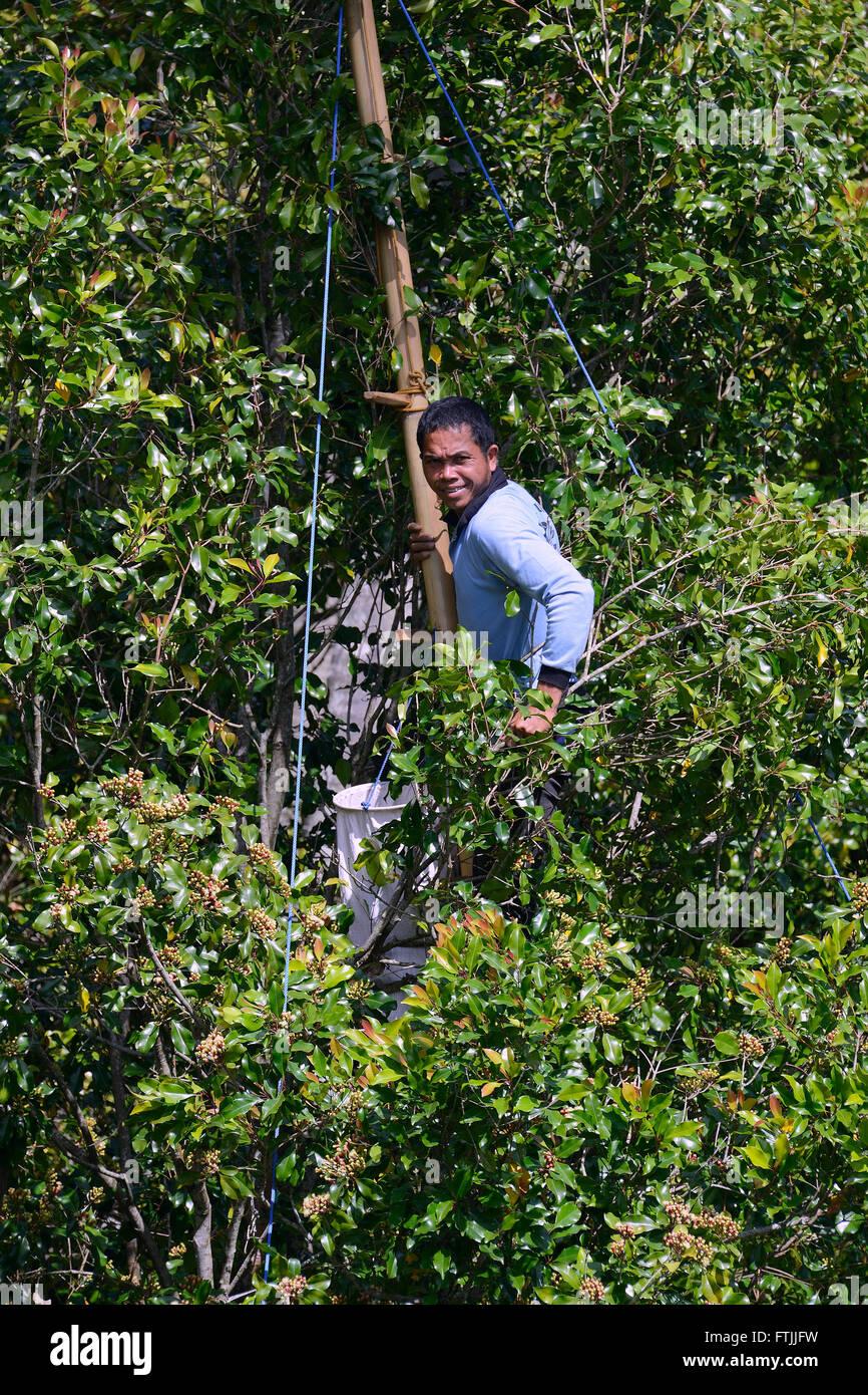 Bauer erntet Nelken, Gewuerznelken (Syzygium aromaticum) von Gewuerznelken-Baum, Munduk, Bali, Indonesien Stock Photo