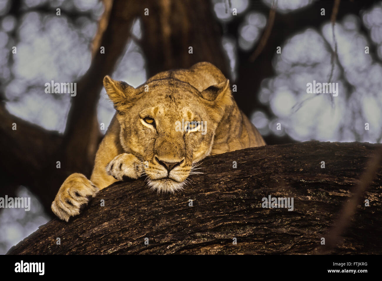 African lion resting in tree - Stock Image