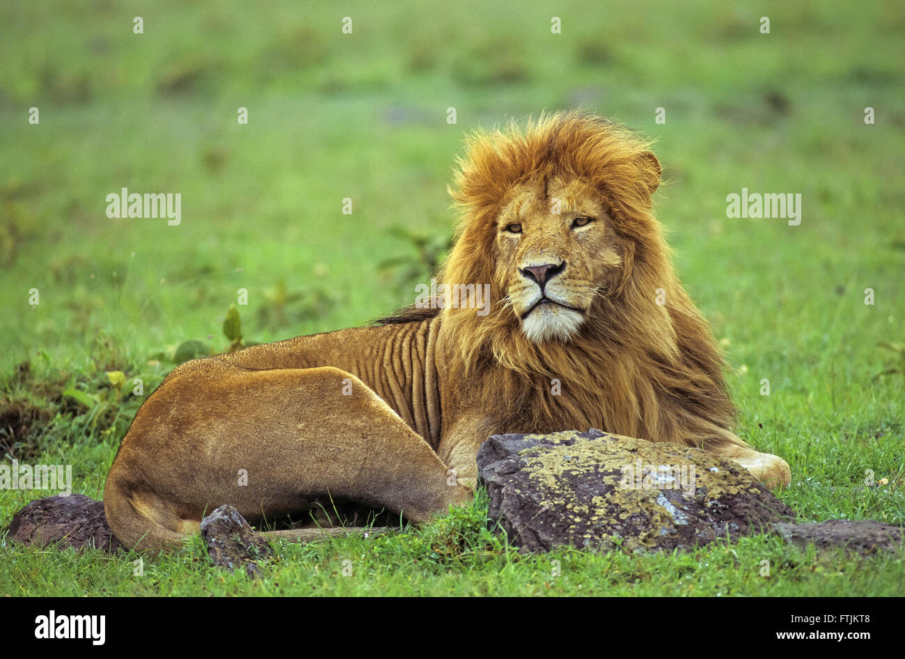 African male lion - Stock Image