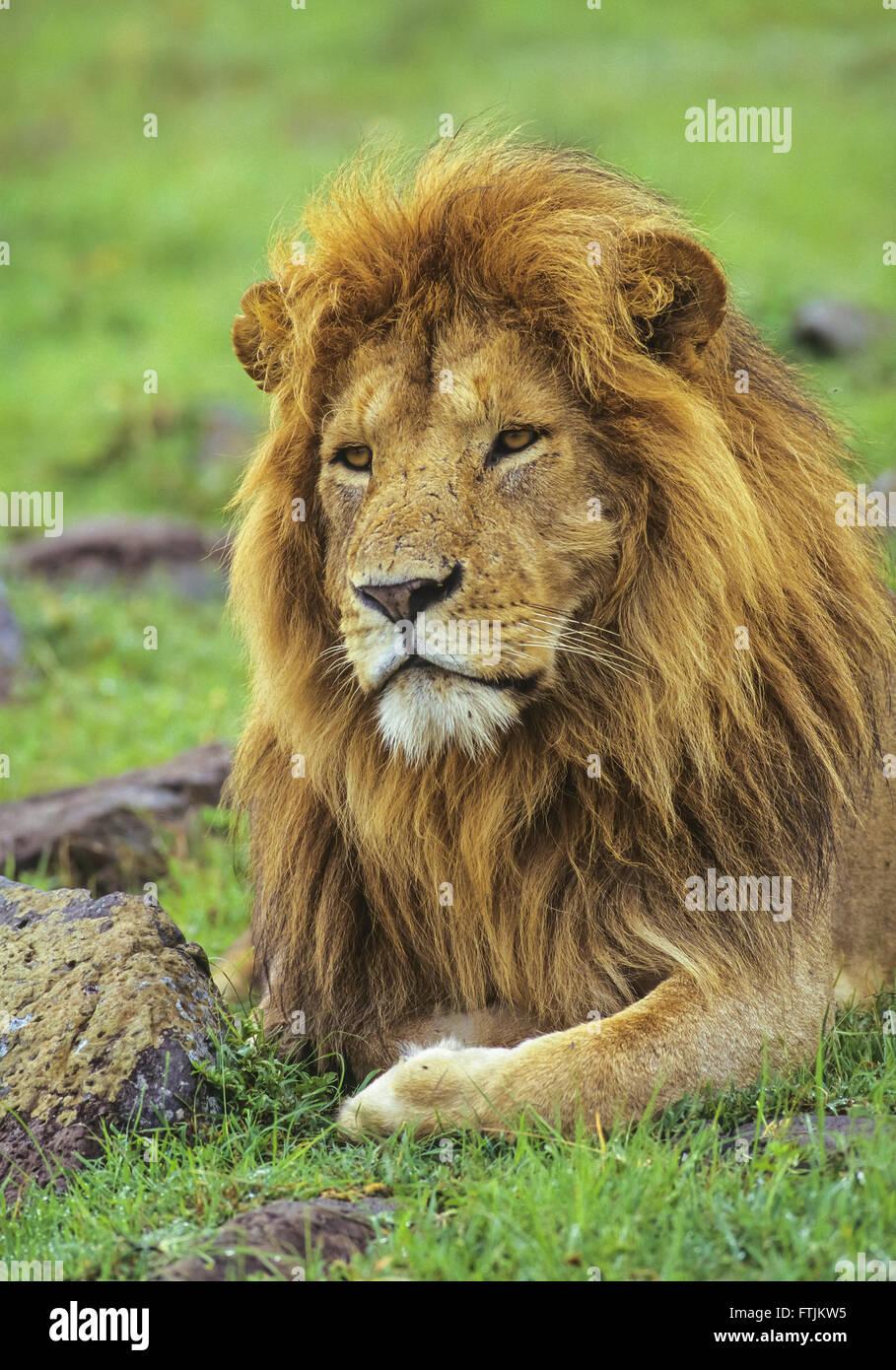 African male lion portrait - Stock Image