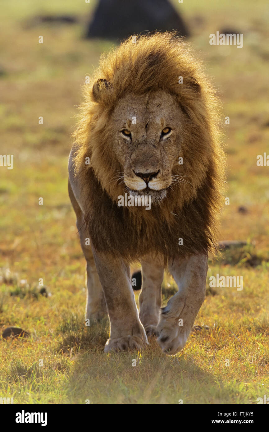 African lion walking into the camera - Stock Image