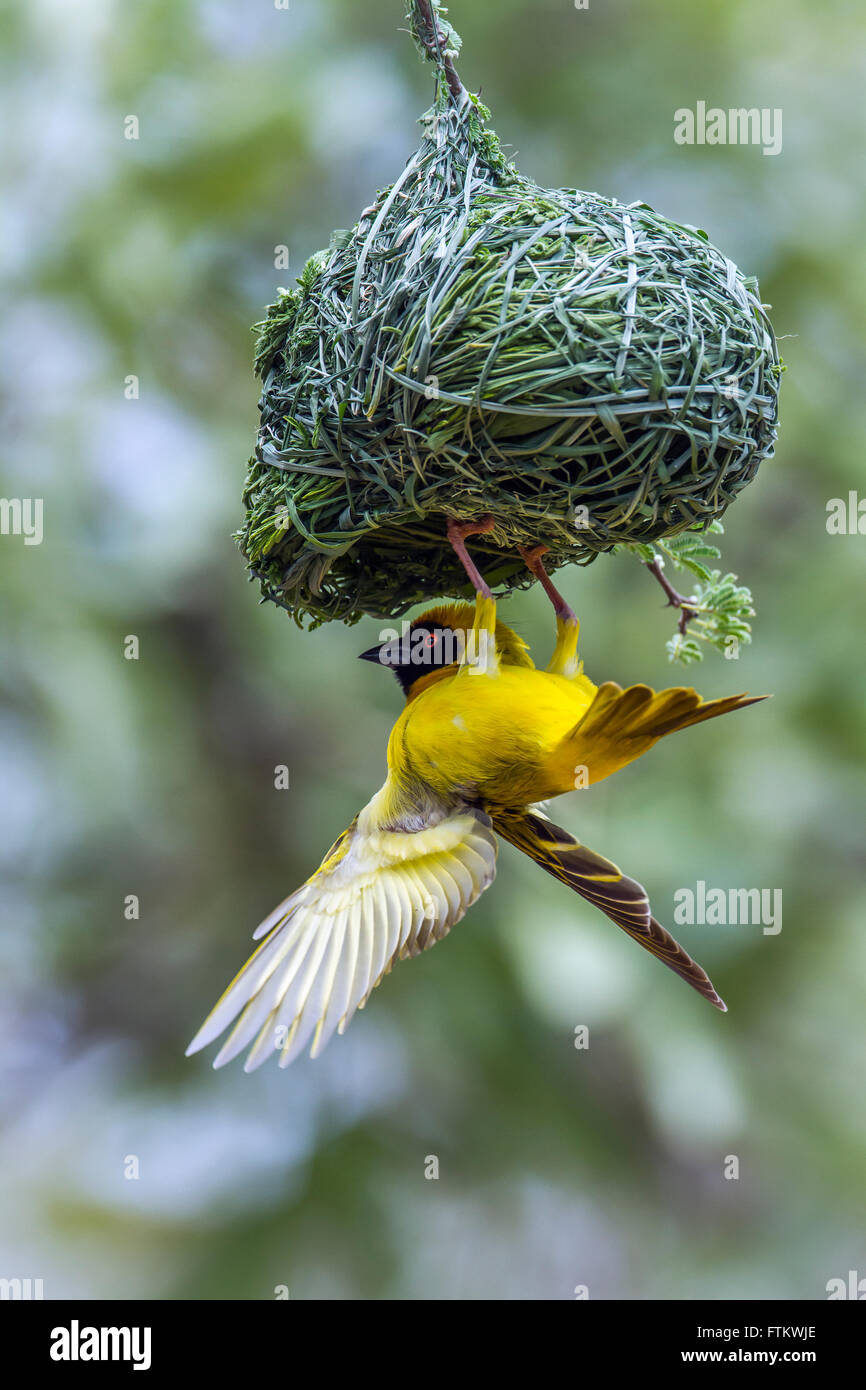 Southern masked weaver in Kruger national park, South Africa ; Specie Ploceus velatus family of Ploceidae - Stock Image