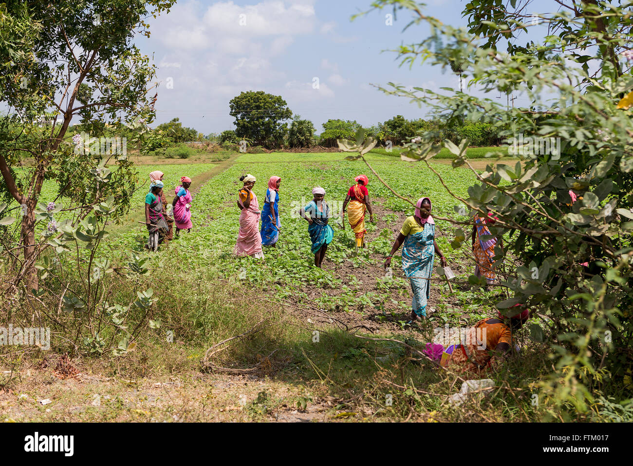 A group of Indian women working in the fields along the Chennai Road, Tindivanam, Viluppuram, Tamil Nadu, India, - Stock Image