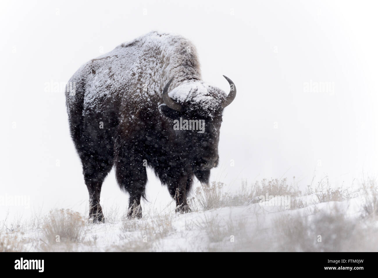 American Bison (Bison bison), standing in snow during blizzard, Lamar Valley, Yellowstone National Park, Wyoming, Stock Photo