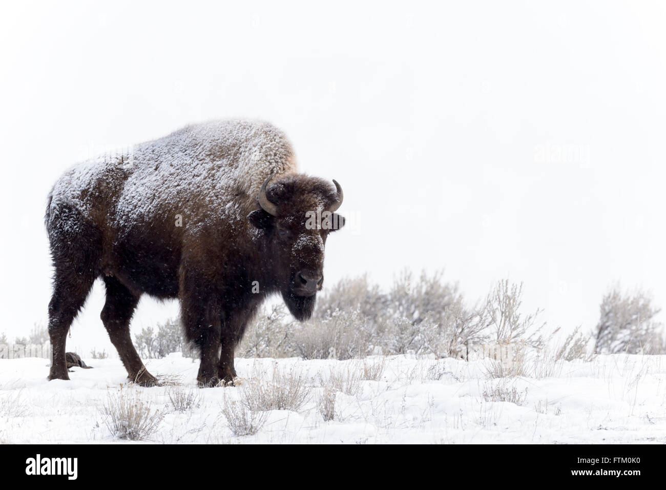 American Bison (Bison bison), standing in snow, Lamar Valley, Yellowstone National Park, Wyoming, Montana, USA Stock Photo